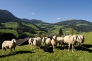 Pecore in pascolo sui prati