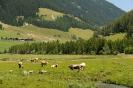 Das Vieh beim Weiden